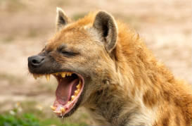 Angry hyena